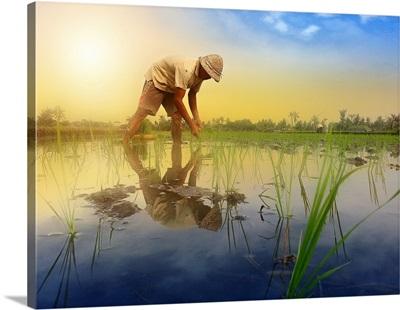 Padi Cultivation