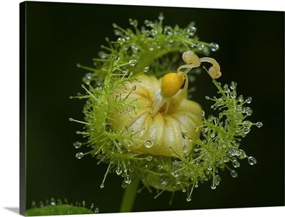 Passiflora Shoot