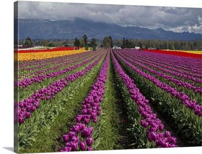 Purple Rows