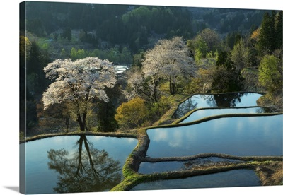 Rice Terrace and Blossoms