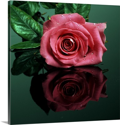 Rose In Pink Color