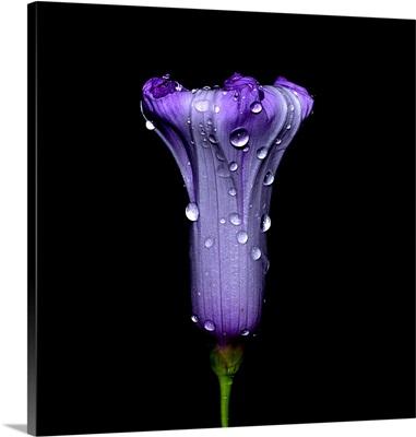 Seri Pagi Flower