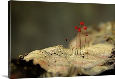 Small Red Mushrooms