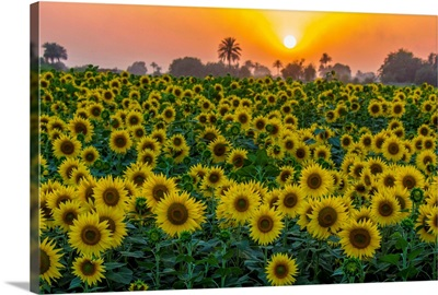 Sunflower Field and Sunset