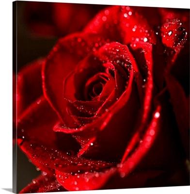 The Bokeh Rose