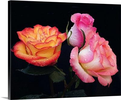 Three Beautiful Roses