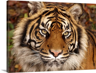 Tiger Ferocity