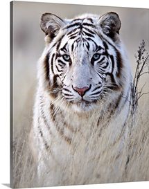 Tiger In White