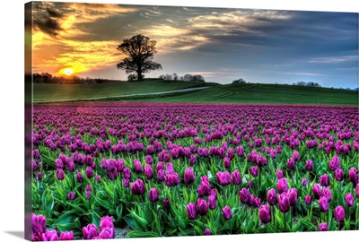 Tulips from Lolland