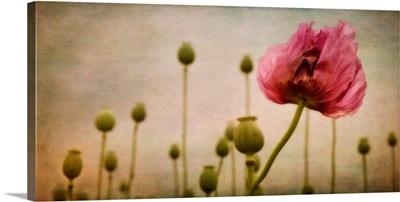 Depth Of (Poppy-) Field