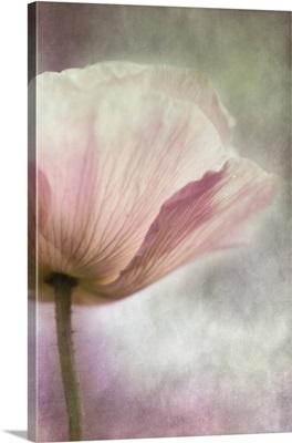 Pastel Pink Poppy