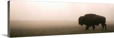 A Bison in Mist - Panoramic