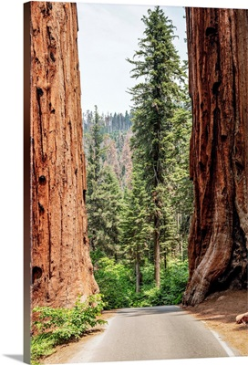 A Road Splits Two Giant Sequoias In Sequoia National Park, California