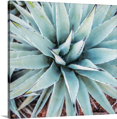 Agave Centuryplant