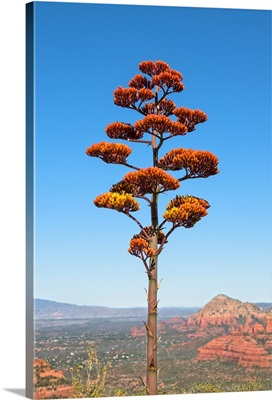 Agave Flower View