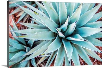 Agave Plant, Sedona AZ