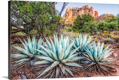 Agave Plants and Cathedral Rock, Sedona AZ
