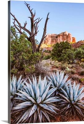 Agave Plants, Sedona, Arizona