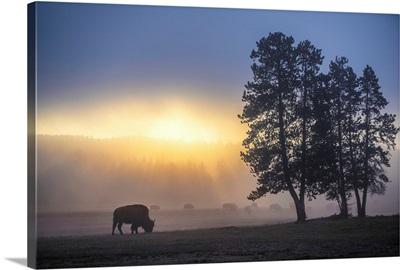 Bison in Field of Mist