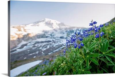 Broadleaf Lupine, Mount Rainier National Park, Washington
