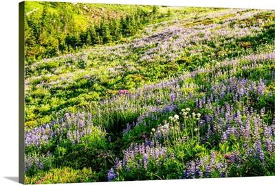 Broadleaf Lupine Wildflowers, Mount Rainier National Park, Washington