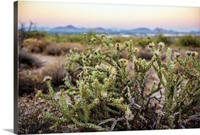 Buckhorn Cholla Cactus In Phoenix, Arizona