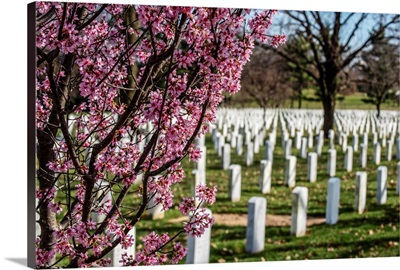 Cherry Blossoms at Arlington National Cemetery