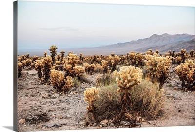Cholla Cactus Garden, Joshua Tree National Park, California