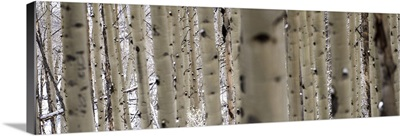 Close up of slender birch trees in a forest in Colorado - Panoramic