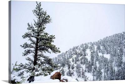 Colorado Snowy Forest