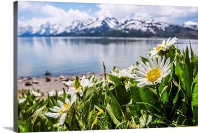 Daisies At Grand Teton National Park, Wyoming