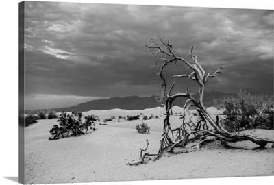 Fallen Tree In Death Valley, California