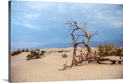 Fallen Tree In Mesquite Flat Sand Dunes, Death Valley National Park, California