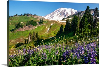 Field of Broadleaf Lupine, Mount Rainier National Park, Washington