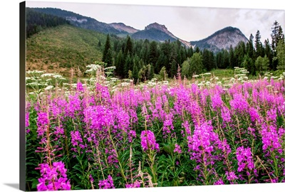 Field of Fireweed Flowers In Yoho National Park, British Columbia, Canada