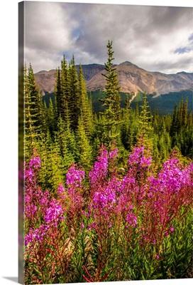 Fireweed Flowers, Banff National Park, Alberta, Canada