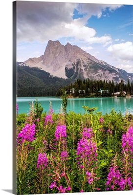 Fireweed Flowers With Wapta Mountain, Yoho National Park, British Columbia, Canada