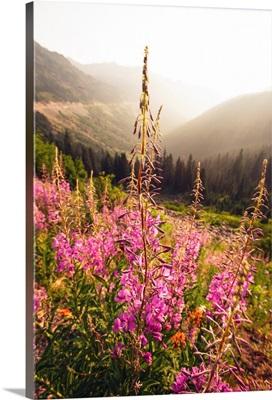 Fireweed I, Mount Rainier National Park, Washington