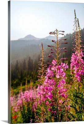 Fireweed II, Mount Rainier National Park, Washington