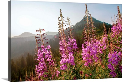 Fireweed III, Mount Rainier National Park, Washington