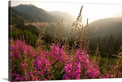 Fireweed IV, Mount Rainier National Park, Washington