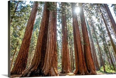Group Of Sequoia Trees, Sequoia National Park, California