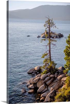 Jeffrey Pine, Lake Tahoe, California And Nevada