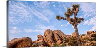 Joshua Tree And Desert Rocks, Joshua Tree National Park, California