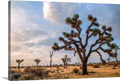 Joshua Tree And Desert Vegetation, Joshua Tree National Park, California