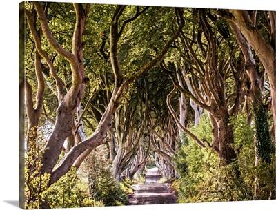 Majestic Tree Tunnel Road, Northern Ireland, UK
