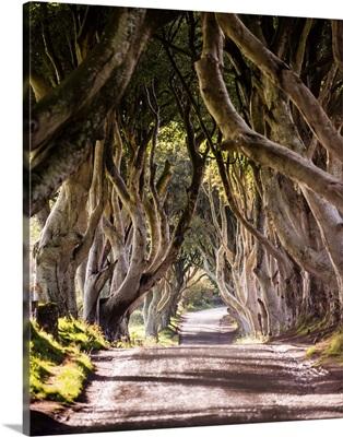 Majestic Tree Tunnel Road, Northern Ireland, UK - Vertical