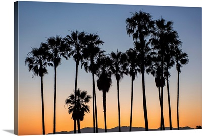Palm Tree Silhouettes, Venice Beach, California