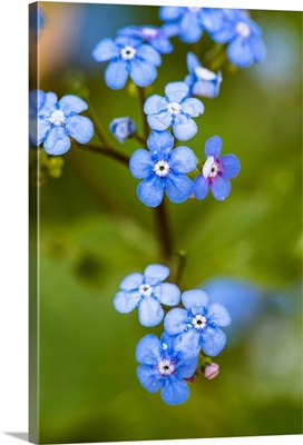 Photo Nature - Alpine Forget-Me-Not Family