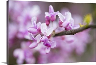 Photo Nature - Judas Tree Flower
